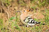 A Eurasian hoopoe hunts through the grass for a morning snack, Parc de l'Oreneta, Barcelona, Spain.