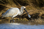 Royal Spoonbill displaying its trademark bill