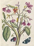 Plumeria from Metamorphosis insectorum Surinamensium (Surinam insects) a hand coloured 18th century Book by Maria Sibylla Merian published in Amsterdam in 1719