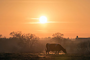 © Licensed to London News Pictures. 28/12/2014. Cheshire, UK A cow stands in a frosty field. Sunset over the Cheshire Countryside today 28th December 2014. Photo credit : Stephen Simpson/LNP