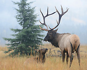 A bull elk watches over a cow in his harem during an Autumn rain shower, Northern Rockies