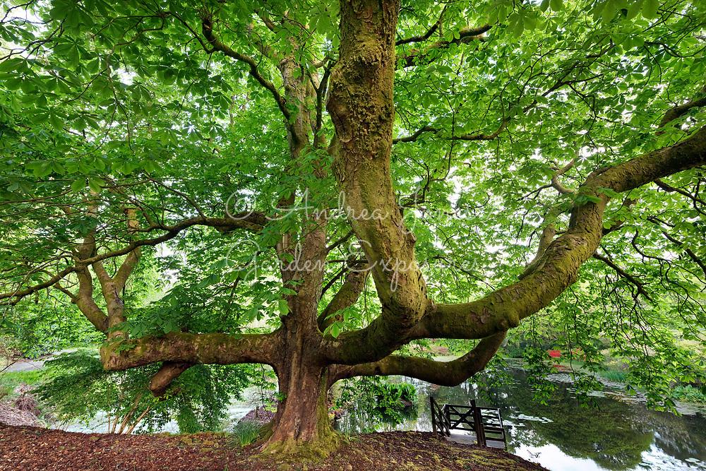 Chestnut tree by the lake at Glenapp Castle, Ayrshire, Scotland
