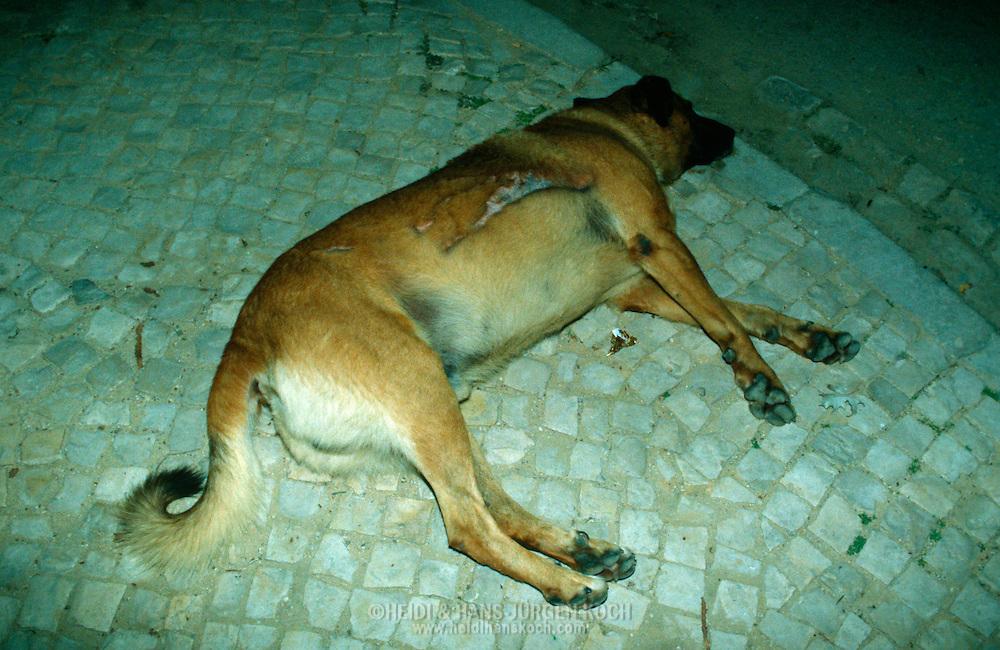 PRT, Portugal: Streunender Hund, Haushund (Canis lupus familiaris), alte Hündin mit einer großen Narbe von einem früheren Unfall schläft nachts auf der Straße, Armacao de Pera, Algarve | PRT, Portugal: Stray dog, domestic dog (Canis lupus familiaris), old female with a big scare from a former accident, sleeping at night in the street, Armacao de Pera, Algarve |