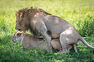 Two mating lions, (Panthera leo)  in Maasai Mara National Park, Kenya, Africa <br /> male is named Chongo