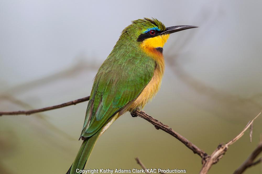 Little bee-eater, Merops pusillus, Serengeti, Tanzania, Africa.