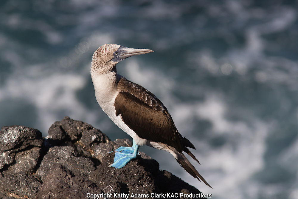 Blue-footed booby, Sula nebouxii, Plaza Island, Galapagos, Ecuador.
