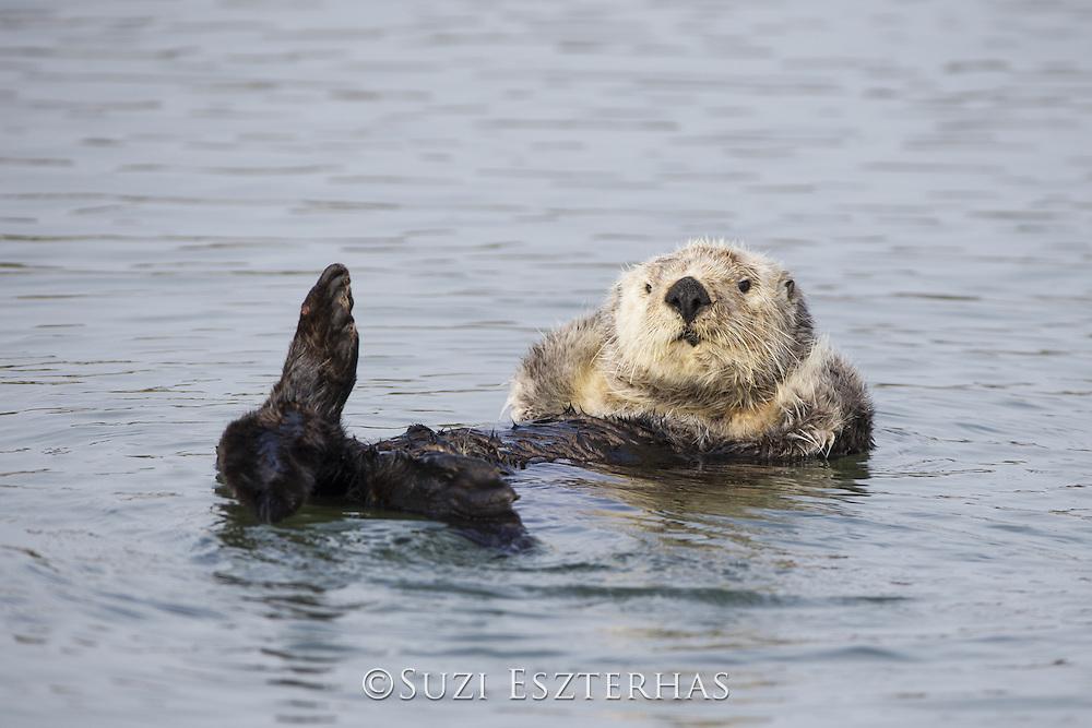 Sea Otter<br /> Enhydra lutris<br /> Grooming<br /> Monterey, California