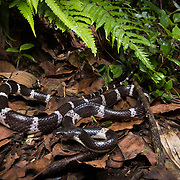 White-banded wolf snake (Lycodon septentrionalis) adult in Nan, Thailand