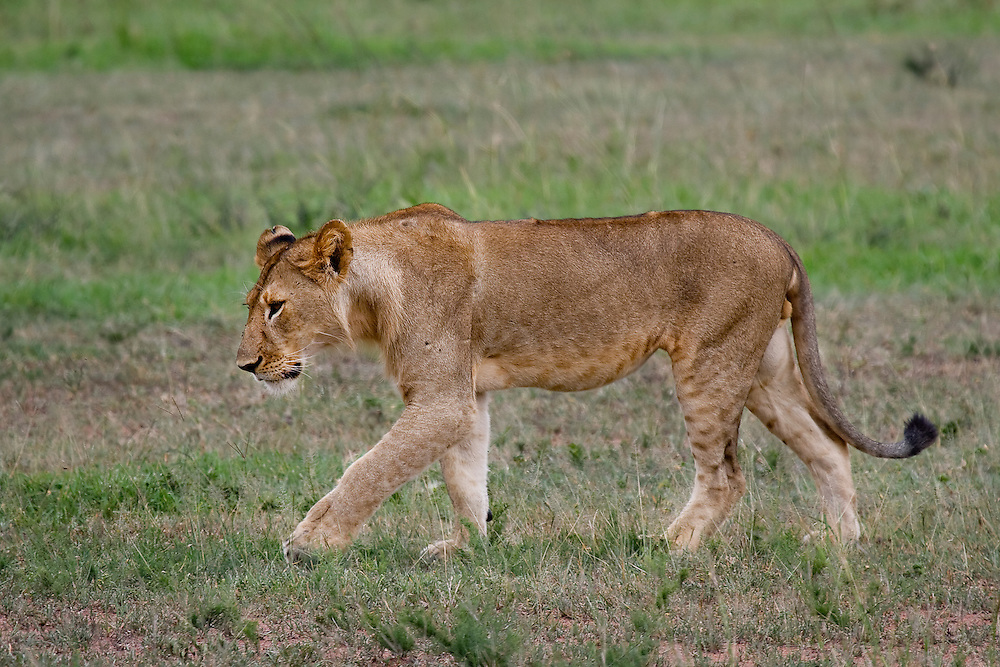(Panthera leo) This cub is almost an adult and is beginning to show growth of a mane. Serengeti National Park, Tanzania
