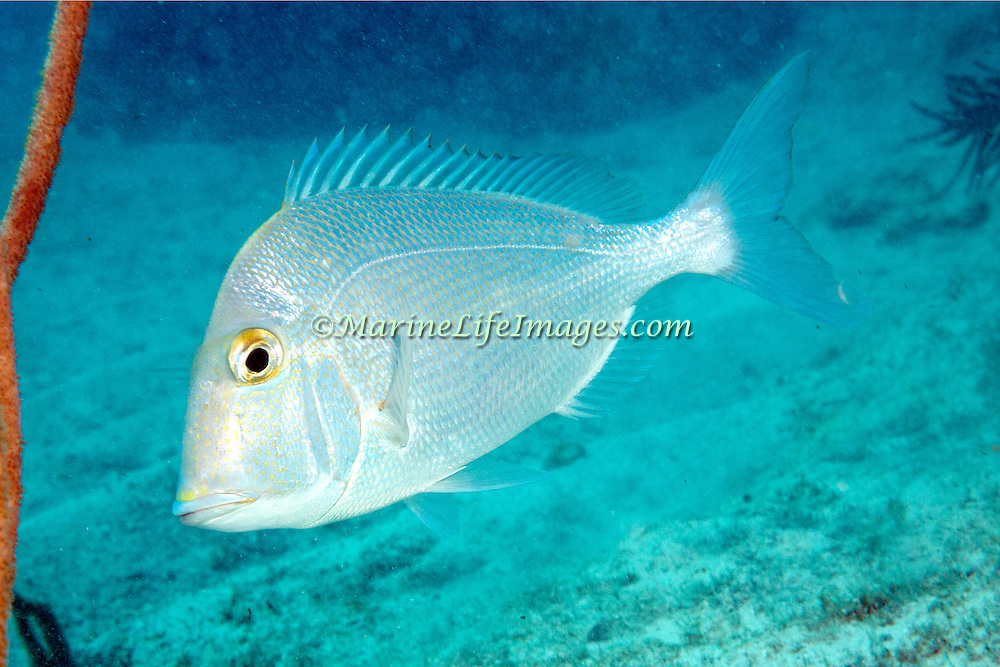 Knobbed Porgy inhabit reefs and adjacent areas of sand and seagrasses in Tropical West Atlantic; picture taken Key Largo.
