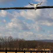 Skull of a steer with longhorns in tact is mounted to a wooden pole for the entrance to a ranch in Loudoun County, VA
