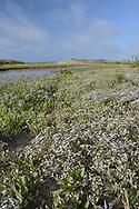Matted Sea-lavender - Limonium bellidifolium
