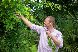 Using secateurs to remove whippy summer growth from wisteria