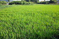 Rice paddy field with farmer working on his garden in the background.