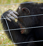 Chimpanzee in Sweetwaters Chimpanzee Sanctuary, Kenya