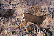 Mule Deer pair; Lava Beds National Monument, Northern California.