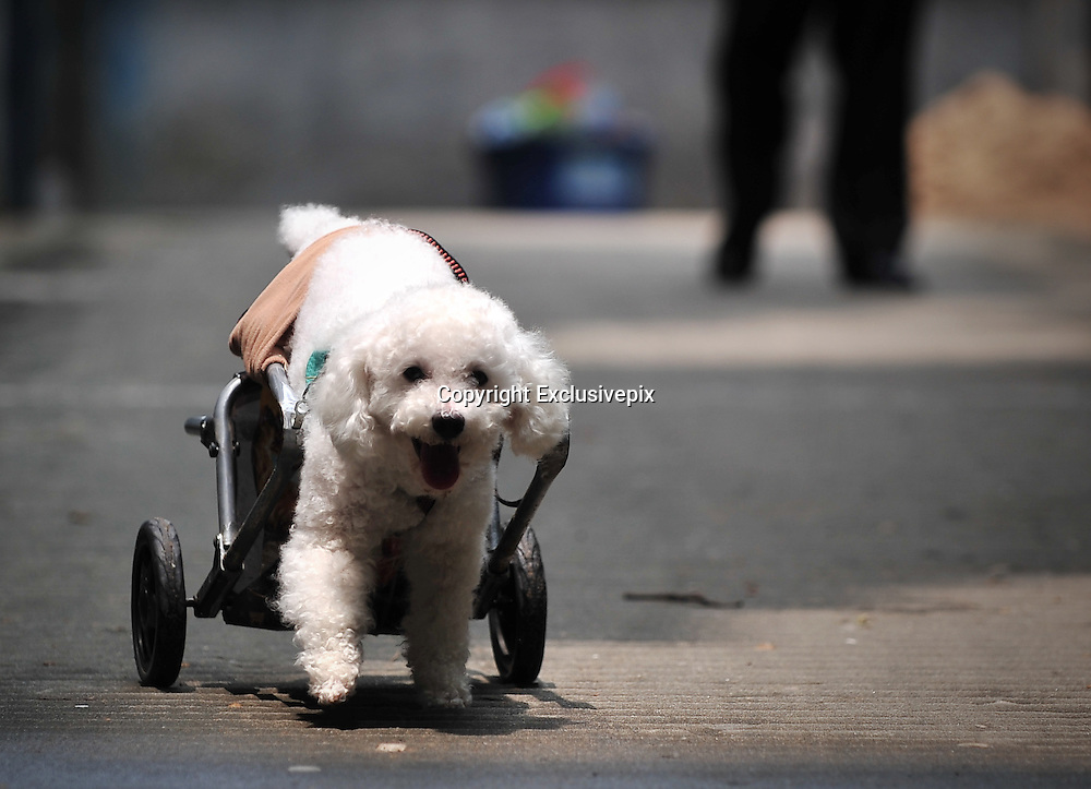FUZHOU, CHINA - JUNE 17: (CHINA OUT) <br /> <br /> Wheelchair For Dog<br /> <br /> A disabled poodle named &quot;Fanqie&quot; (means &quot;Tomato&quot; in Chinese) walks with a wheel chair made by its master on June 17, 2014 in Fuzhou, Fujian province of China. A disabled poodle named &quot;Fanqie&quot; was stricken with paralysis 5 years ago, which made him loss the feeling of his hind legs. A lots of people pursuade the masters of &quot;Fanqie&quot; to permit euthanasia for their dog due to &quot;Fanqie's incurable legs, but the masters did not, instead, they made a special wheel chair for the disabled dog. <br /> &copy;Exclusivepix