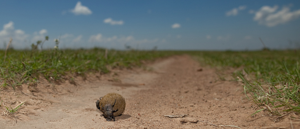A male dung beetle rolls a matrimonial dung ball with a female clinging on in the Maasai Mara of Kenya
