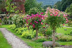 Avenue of standard roses including Rosa 'Boscobel' syn. 'Auscousin', R. Young Lycidas = 'Ausvibrant' and Rosa 'Port Sunlight' syn. 'Auslofty' AGM
