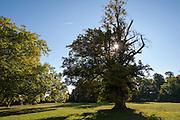 alte Linde, Schlosspark Belvedere, Weimar, Thüringen, Deutschland | old tree, palace park Belvedere, Weimar, Thuringia, Germany