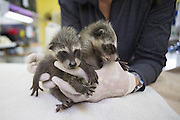 Raccoon <br /> Procyon lotor<br /> Three-week-old orphaned baby at wildlife rehabilitation center<br /> WildCare, San Rafael, CA