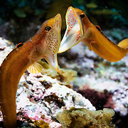 Two male Zoarchias major eelpouts engaged in competitive battle, mouths wide open. The fish on the left is ensconced in a hole in the coral, while the challenging fish on the right is fully exposed in the water column. These fish, called ookazunagi in Japanese, engage in this behavior during the spring and summer, presumably as part of their reproductive process. Despite these confrontations, it does not appear that the fish inflict harm on one another.