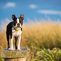 Boston Terrier Dogs