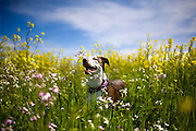 Ollie the wonder dog plays in field of yellow flowers in Sacramento, California on March 30, 2011.
