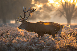 © Licensed to London News Pictures. 12/12/2017. London, UK. Deer seen in Bushy park in south-west London, which experienced a frost this morning as temperatures in the area dropped to -3 overnight. Large areas of the UK have experienced a cold weather snap with frost and snow over the past 3 days. Photo credit : Tom Nicholson/LNP