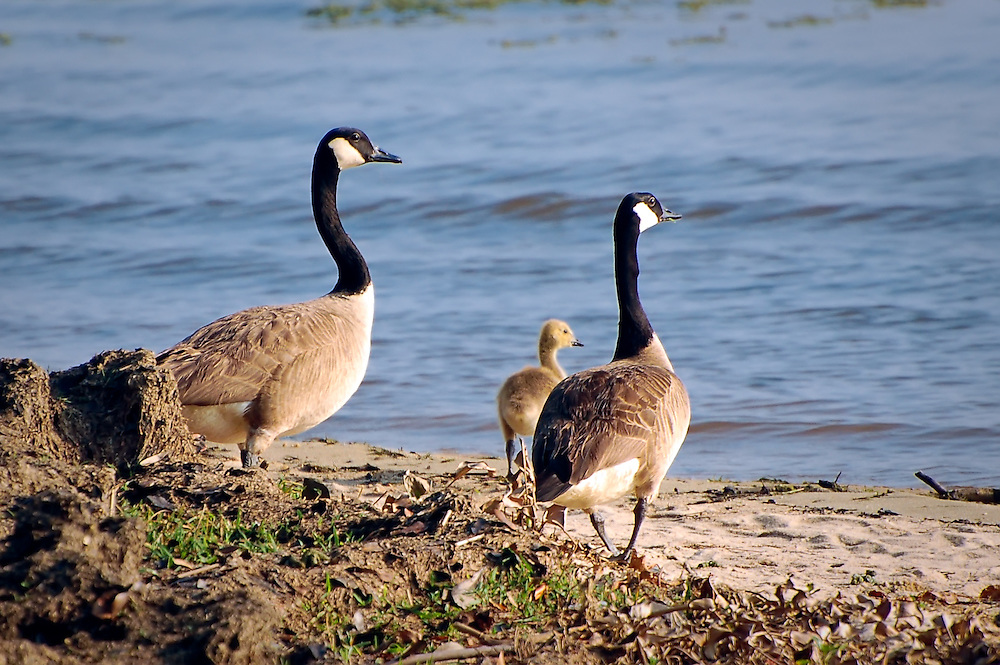 A family of Canada geese on the shore of Lake Seminole in Jackson County, near the Florida-Georgia border.