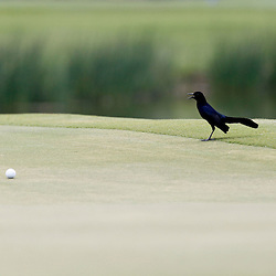 Apr 29, 2012; Avondale, LA, USA; A bird lands on the green near a ball for Luke Donald on the ninth hole during the final round of the Zurich Classic of New Orleans at TPC Louisiana. Mandatory Credit: Derick E. Hingle-US PRESSWIRE