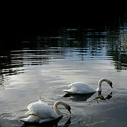 White swans swimming on the river Don in Yorkshire, England.