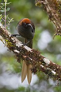 Portrait of a brown sicklebill perched on a branch, Papua New Guinea