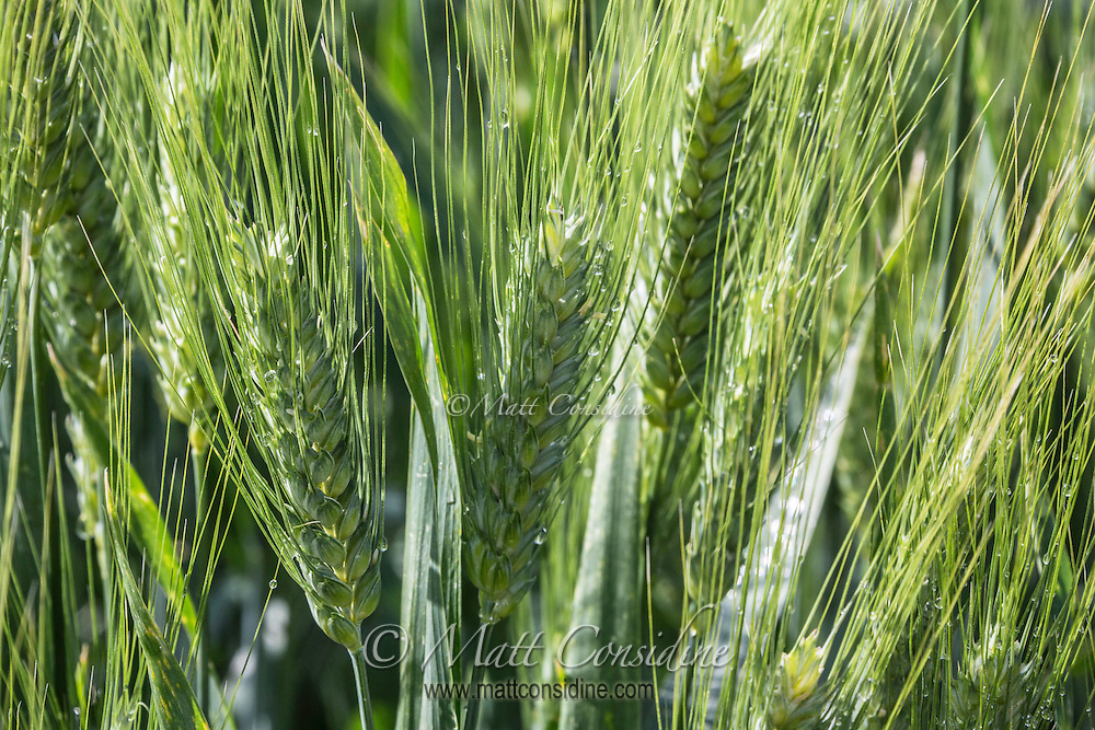 Fields of Tuscan wheat. (Photo by Travel Photographer Matt Considine)