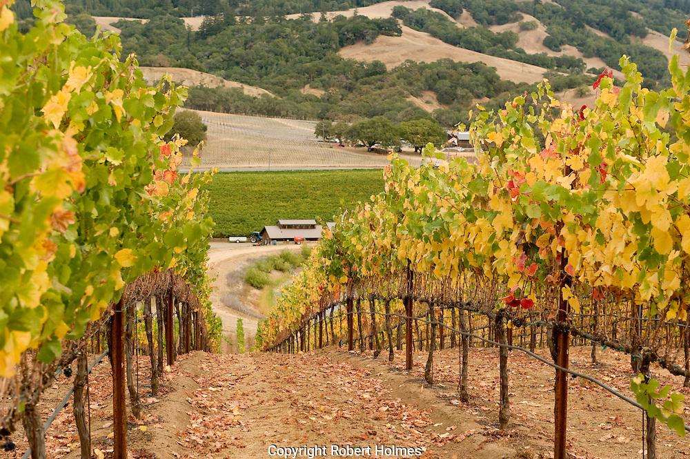 Golden Eye pinot noir harvest, Anderson Valley, Mendocino, California