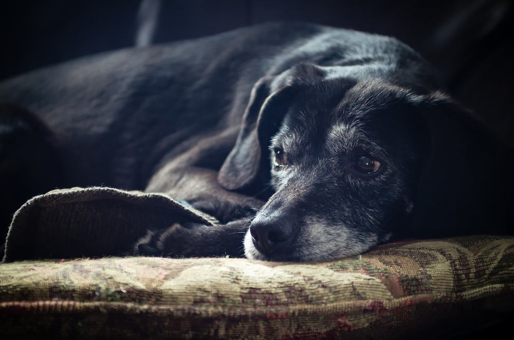 An old black dog rests on her cushion.
