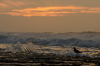African Black Oystercatcher at dawn, Dwesa-Cwebe Marine Protected Area, Eastern Cape, South Africa