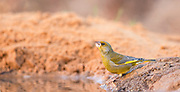 European Greenfinch, (Carduelis chloris), is a small passerine bird in the finch family Fringillidae. This finch inhabits woodland and hedgerows. It is native to Europe, south-west Asia and North Africa. Photographed in Ein Afek Nature Reserve, Israel in November