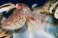 The Common Octopus (Octopus vulgaris)