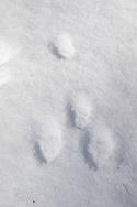 Cottontail Rabbit (Sylvilagus floridanus), tracks in the snow.