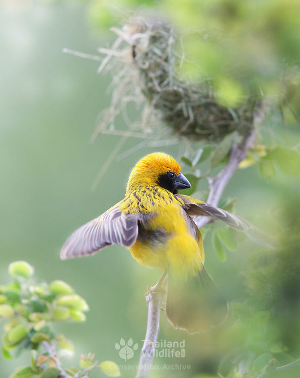 The Asian golden weaver (Ploceus hypoxanthus) is a species of bird in the Ploceidae family. It is found in Cambodia, Indonesia, Laos, Myanmar, Thailand, and Vietnam. Its natural habitats are subtropical or tropical seasonally wet or flooded lowland grassland, swamps, and arable land. It is threatened by habitat loss.