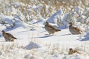 Hungarian Partridge in Winter Habitat