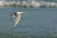 Lesser Crested Tern - Sterna bengalensis - Non-breeding adult