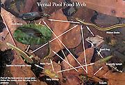 Vernal Pool food web