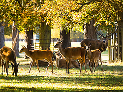 October 1, 2018 - London, London, UK - London, UK.  Deer in autumn sunshine and warm weather in Bushy Park in south west London today. (Credit Image: © Vickie Flores/London News Pictures via ZUMA Wire)