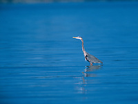 Great Blue Heron (Ardea herodias), Rathtrevor Beach, Vanvouver Island, Canada   Photo: Peter Llewellyn