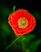 Red or Oriental Poppy. Image taken with a Fuji X-T3 camera and 80 mm f/2.8 OIS macro lens