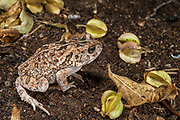 Flat-backed Toad (Bufo maculatus)<br /> Marakele Private Reserve, Waterberg Biosphere Reserve<br /> Limpopo Province<br /> SOUTH AFRICA<br /> HABITAT &amp; RANGE: More or less permanent water of s.e. Africa