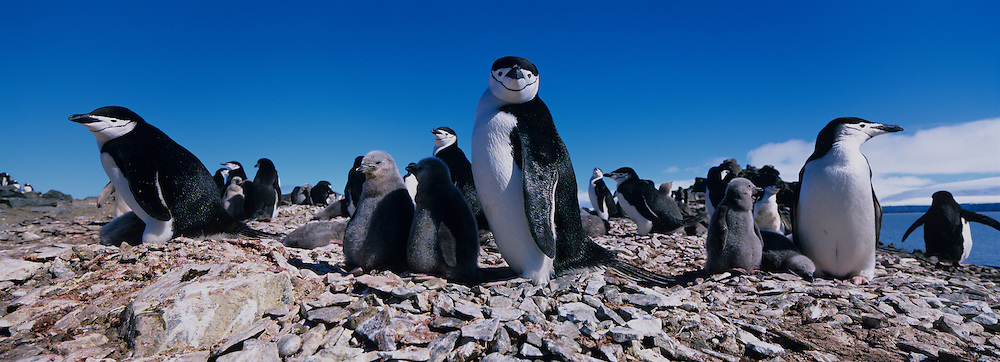 Antarctica, Livingston Island, Chinstrap penguins (Pygoscelis antarctica) with young chicks in rookery at Hannah Point