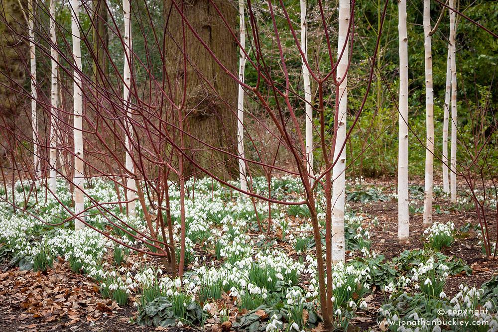 Snowdrops beneath a grove of silver birch trees in the Winter Garden at Dunham Massey. Betula utilis var. jacquemontii 'Doorenbos'. Galanthus